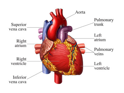 Human Heart: Important Components And Its Functioning
