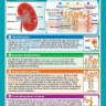 The Kidneys & Urine Production | Science Posters | Gloss Paper