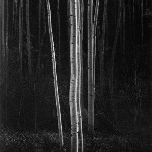 Aspens, New Mexico, 1958 by Ansel Adams